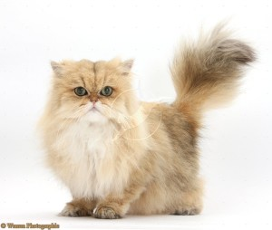 Golden Chinchilla Persian female cat, Jazzy, 6 years old